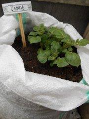 ジャガイモ土嚢袋で栽培中