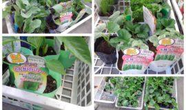 【園芸活動】野菜の植え付け