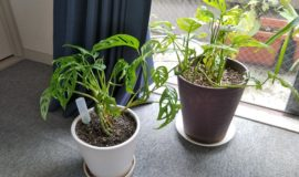【園芸活動】オフィスの観葉植物